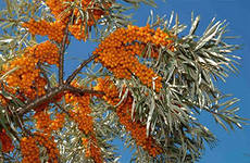 Sea-buckthorn tree